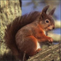 Red_squirrel_2