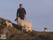 Hill_sheep_1